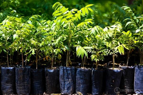 One Tree Planted Setzlinge